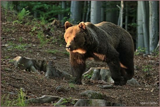 Medveď je v podstate dobrák