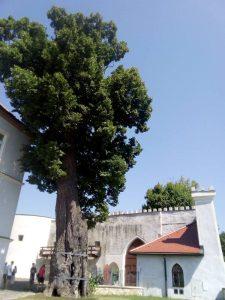 Korvínová lipa na hrade Ľupča má viac ako 700 rokov. Foto: T. Kubej